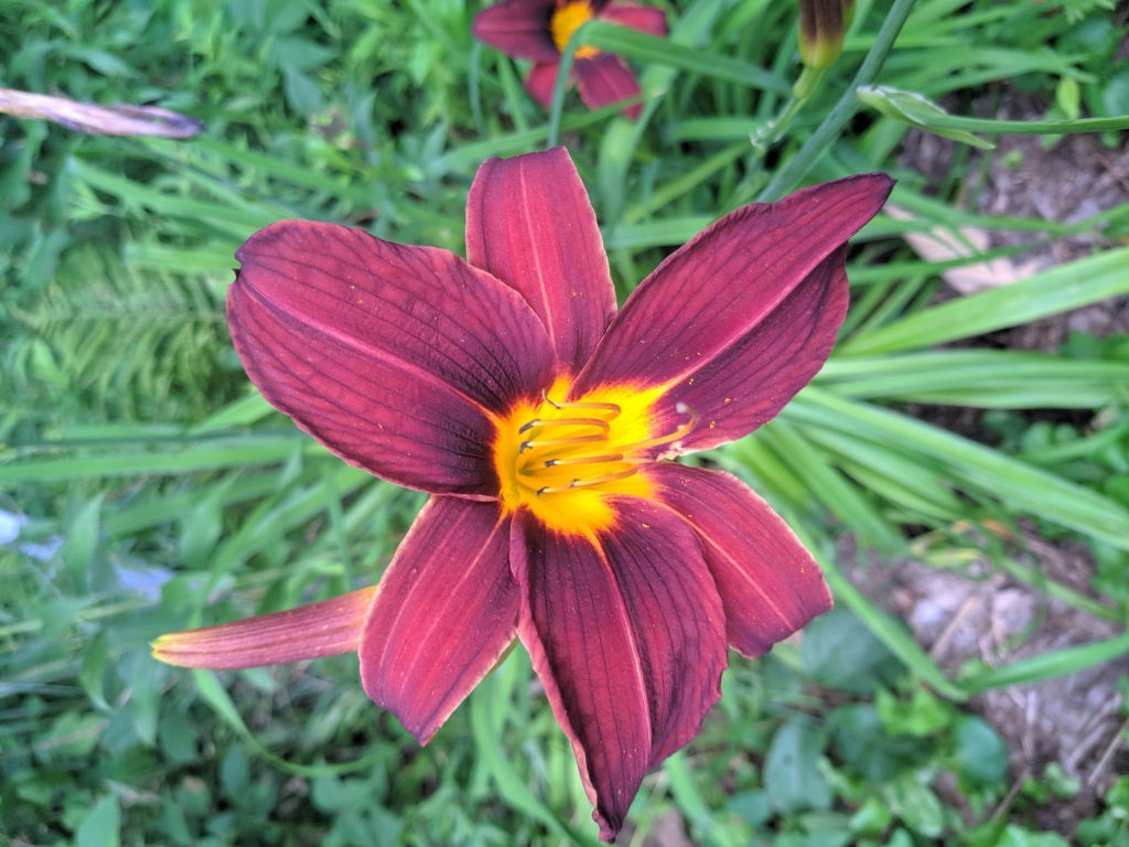 A Daylily blooms in the deep summer heat last week. Wisconsin has seen an excellent summer season for farmers--especially corn--with sunny, hot, and...